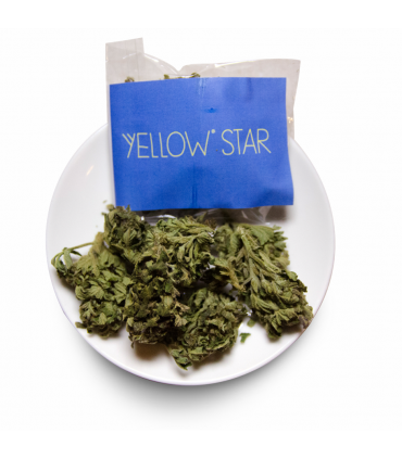 infiorescenza di Canapa Yellow Star senza semi 2.5gr